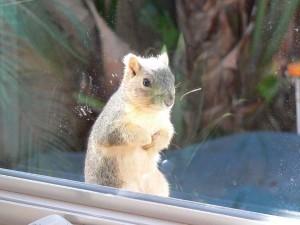 redondo beach squirrel