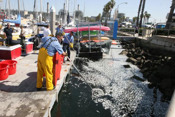 collecting sardines king harbor