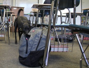 Skeeter, a four-year-old Australian cattle dog and Labrador mix, sniffs a backpack in a classroom at Mira Costa High School. Skeeter is trained to sniff out methamphetamines and major narcotics, including cocaine, marijuana, heroin, ecstasy, Percocet, OxyContin, Xanax, Adderall, any alcoholic beverage and gun powder.