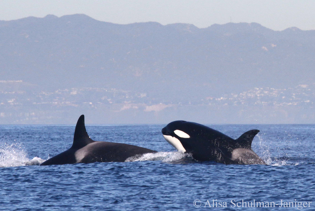 Orcas and Gray whales face off a half mile off Palos Verdes coast during migration [PHOTOS]