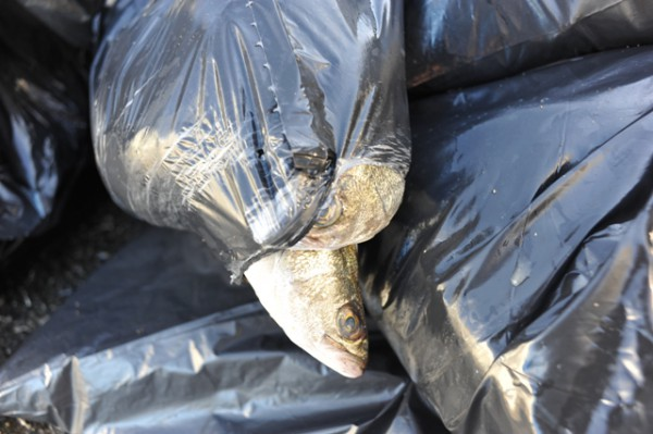 Fish that didn't survive were bagged and sent to the trash. Some will be preserved for educational reasons.