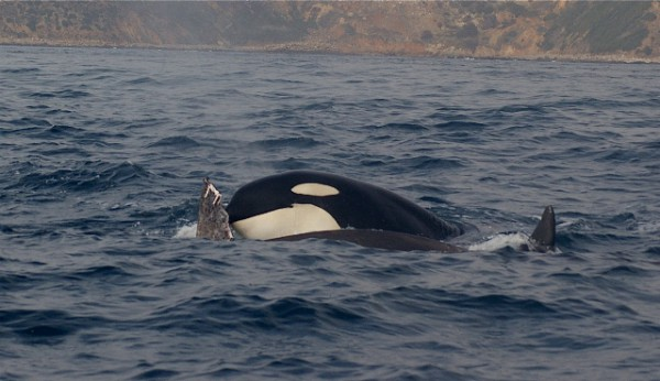 killer whale palos verdes