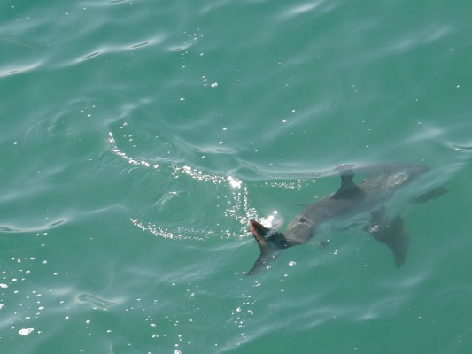 great white shark manhattan beach