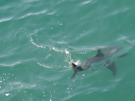 great white shark manhattan beach
