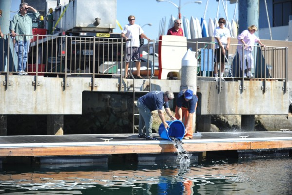 Over 5,500 White Seabass were released into King Harbor on Saturday. Photos by Chelsea Sektnan