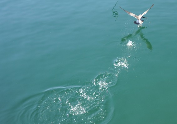 Seagulls attempted to snatch up the seabass as they swam to freedom. Photo by Chelsea Sektnan