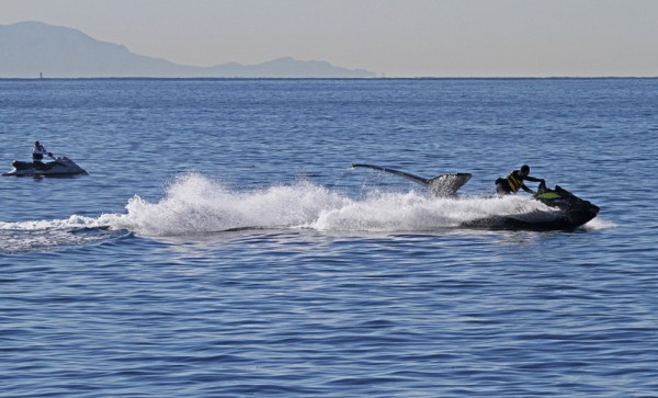 Jet skiers accelerate near a humpback whale. Photo by Livia Trauber