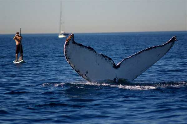 A paddleboarder snaps a photo of a whale fluke off Redondo Beach last month. Photo by Eric Martin