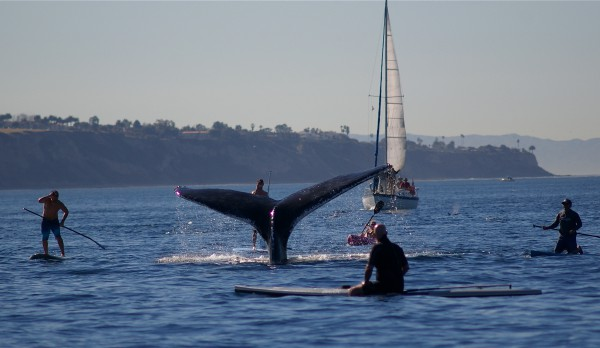 Paddleboarders congregate around a whale fluke off Redondo Beach last month. Photo by Eric Martin