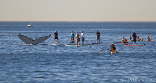 Whale watchers on stand-up paddleboards and in kayaks congregate near a whale fluke off Redondo Beach in January. Photo by Shane Keena