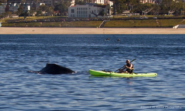 A kayaker paddles near a humpback whale off Redondo Beach in January. Photo by Shane Keena