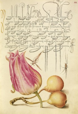 """""""Insect, Tulip, Caterpillar, Spider, and Pear"""" (1561; illumination added 1591-96)), by Joris Hoefnagel and Georg Bocskay. Courtesy of The J. Paul Getty Museum, Los Angeles."""