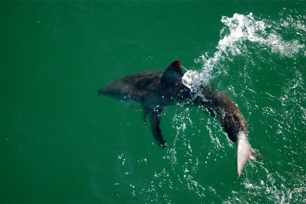 A white shark caught and released last year off the Manhattan Beach Pier. Photo courtesy of Eric Martin