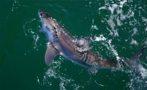A white shark off the Manhattan Beach Pier last year. Photo courtesy of Eric Martin