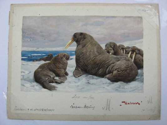 Walrus painting by Wilhelm Kuhnert
