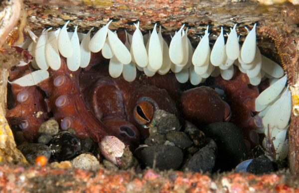 Two-spot octopus with eggs.