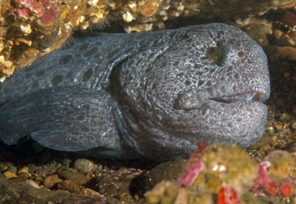 Wolf eel.