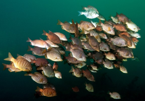 School of Perch