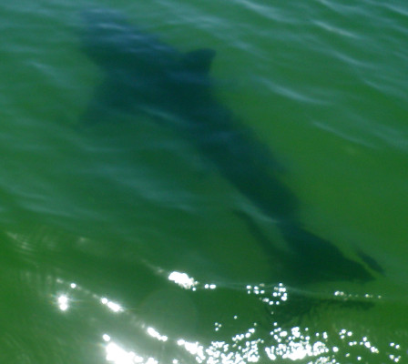 Photographer Gus McConnell described the shark as appearing docile.