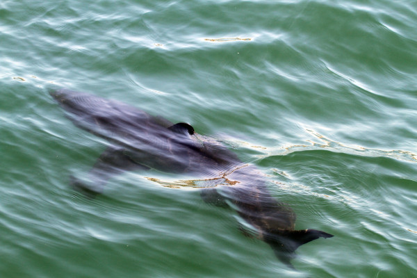 A juvenile great white shark  photographed from Schaefer's sailboat 200 yards offf of Marine Street in Manhattan Beach.