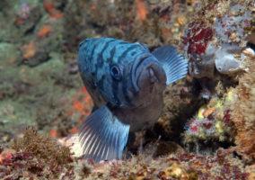 Blue Rockfish, (Sebastes mystinus)