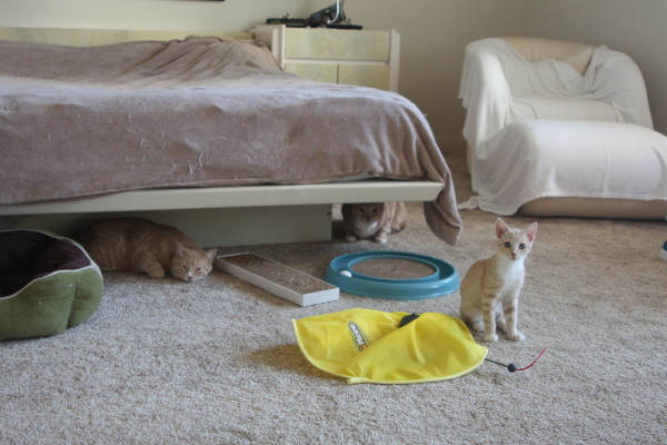 Alberto, in foreground, a three-month-old tabby kitten, and tabby brothers Billy and Bobby, two-years-old, live in Debra Corwin's master bedroom. Alberto is up for adoption. Photo by Kelley Kim
