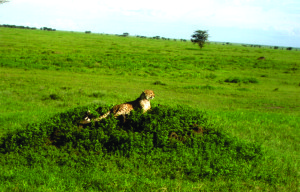A cheetah sits on an anthill in the Ngorongoro Crater Conservation Area in Tanzania. Courtesy of Debra Corwin.