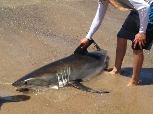 The fisherman begins to roll the shark back into the ocean. Photo by Liz Jason Barber