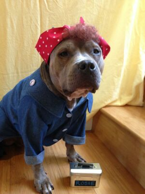 Rosie, pictured as her alter ego Rosie the Riveting Pibble, was rescued from Angel City Pit Bulls and is training to be a therapy dog. Courtesy of Rebecca Howard
