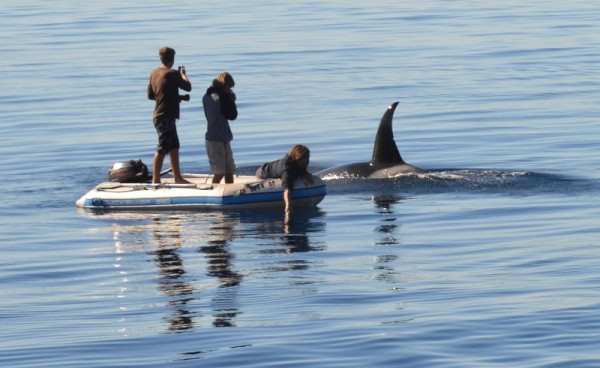 A whale researchers lowers a hydrophone underwater to record one of the CA 51 orcas, while his colleagues take photos. Photos by James Sabil
