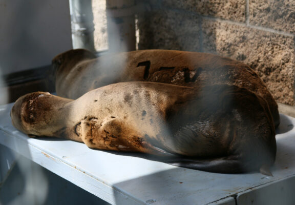 The bones are visible beneath the fur of two recent arrivals who are in critical care at the Marine Mammal Care Center in San Pedro. Photo by Caroline Anderson