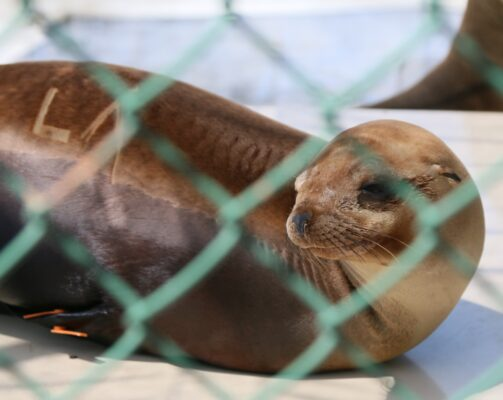"""One of over 430 sea lions that the Marine Mammal Care Center in San Pedro has taken in since January 1. His shaved marking happens to spell out """"LA."""" Photo by Caroline Anderson"""