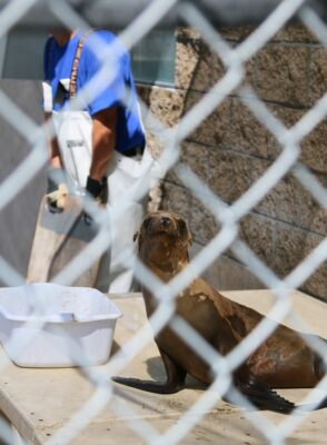 A young sea lion inspects a visitor as a volunteer washes down its enclosure at the Marine Mammal Care Center in San Pedro. Photo by Caroline Anderson