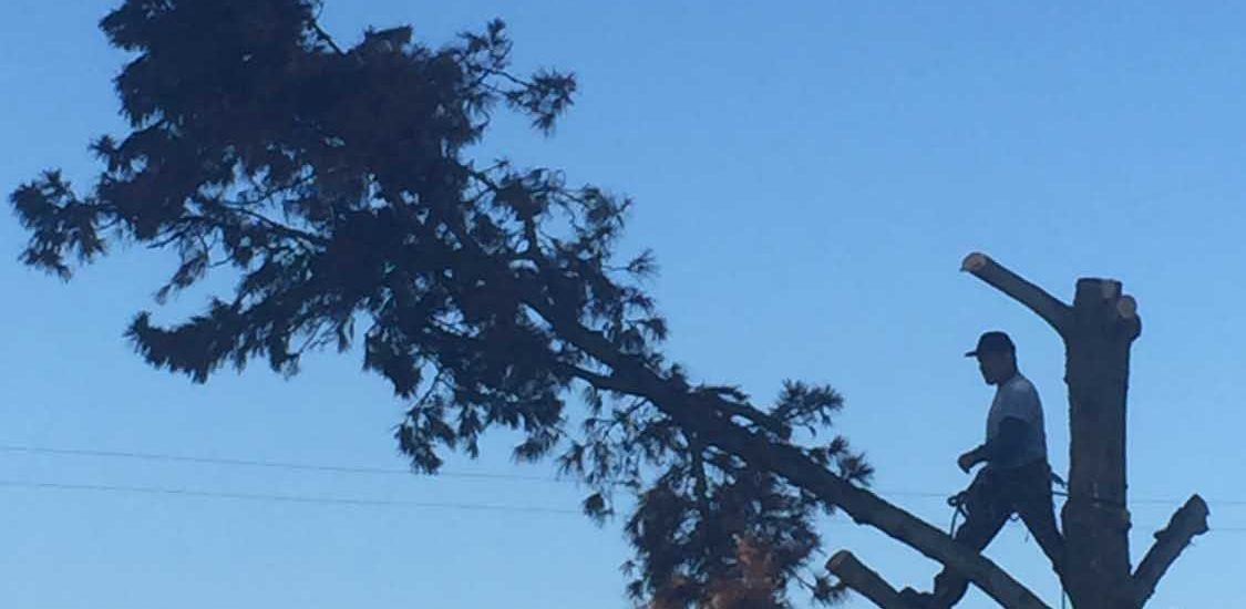 Century-old tree cut down at Hermosa Beach construction site