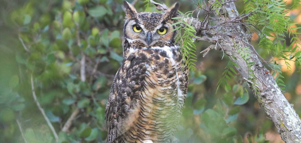 The Owls of Palos Verdes