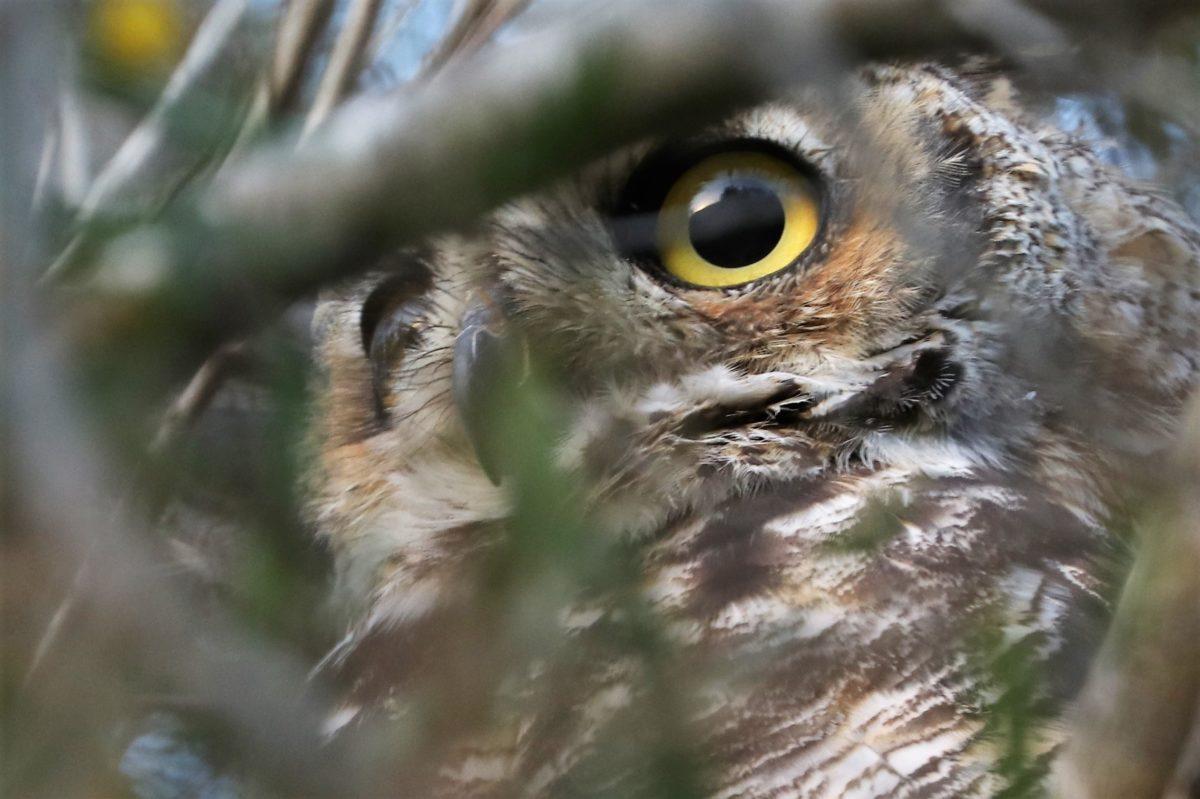 The Owls Of Palos Verdes