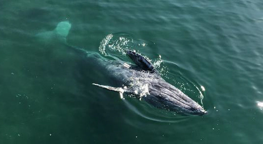 Gray Whale visits students at Manhattan Beach Pier Roundhouse Aquarium