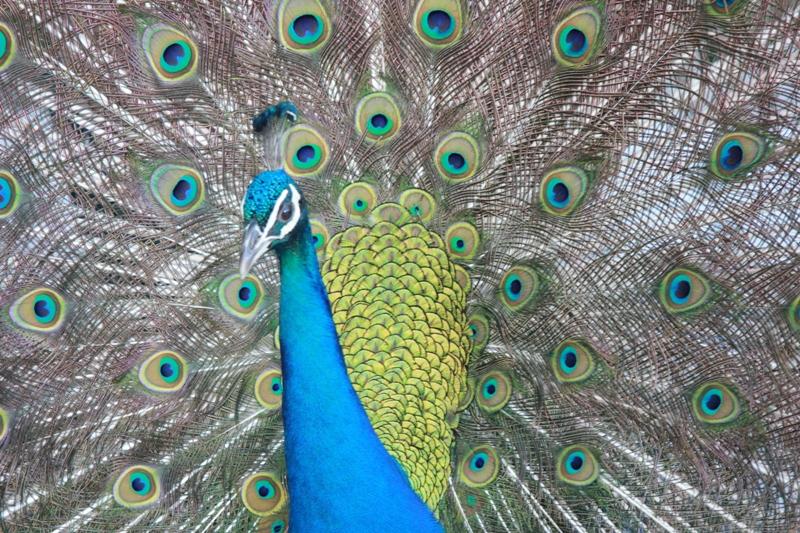 Gerlach-PV Peacock