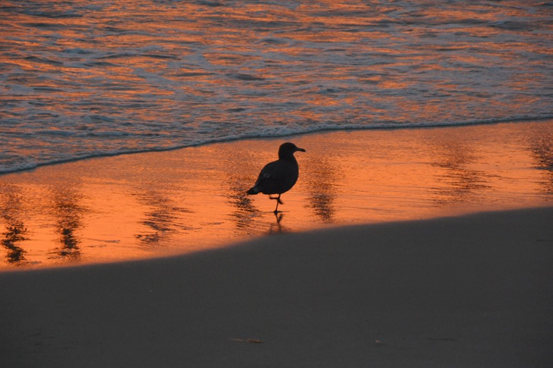 Lundy-Sunset Seagull
